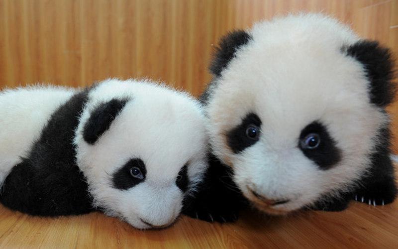 les 5 photos les plus mignonnes de b b s pandas toute l actu fun jeux 2 filles. Black Bedroom Furniture Sets. Home Design Ideas