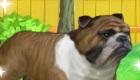gratuit : Occupe-toi d'un mignon bulldog