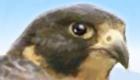 gratuit : Jeu d'aigle pour filles