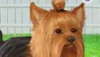 gratuit : Jeu de Yorkshire Terrier