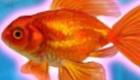 Jeu de poisson rouge
