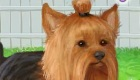 Jeu de Yorkshire Terrier