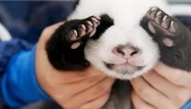 Les 5 photos les plus mignonnes de bébés pandas